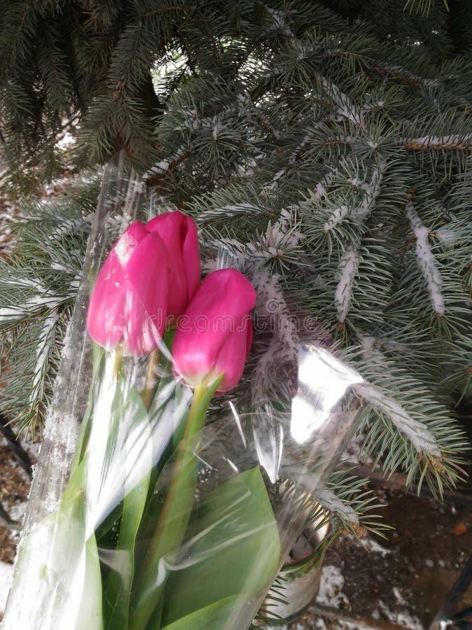 Tulipani, fotografia stock