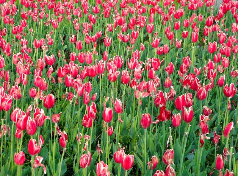 Download Tulipani fotografia stock. Immagine di prospettiva, sviluppo - 7313230