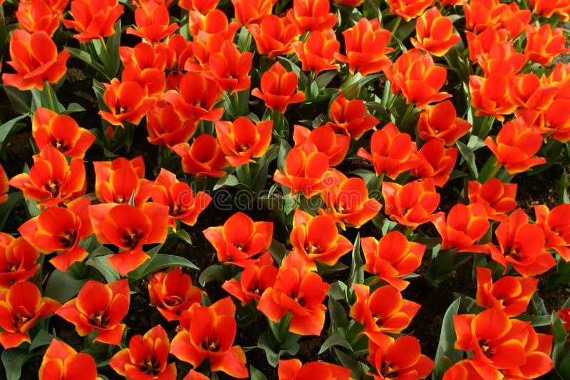 Tulipani arancio fotografia stock