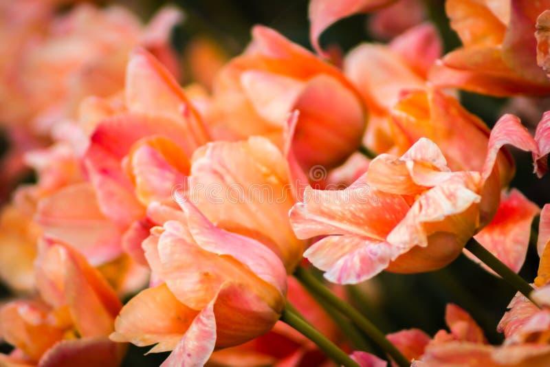 Tulipani arancio in fioritura sull'isola del mulino a vento durante il festival del tulipano in Holland Michigan fotografia stock