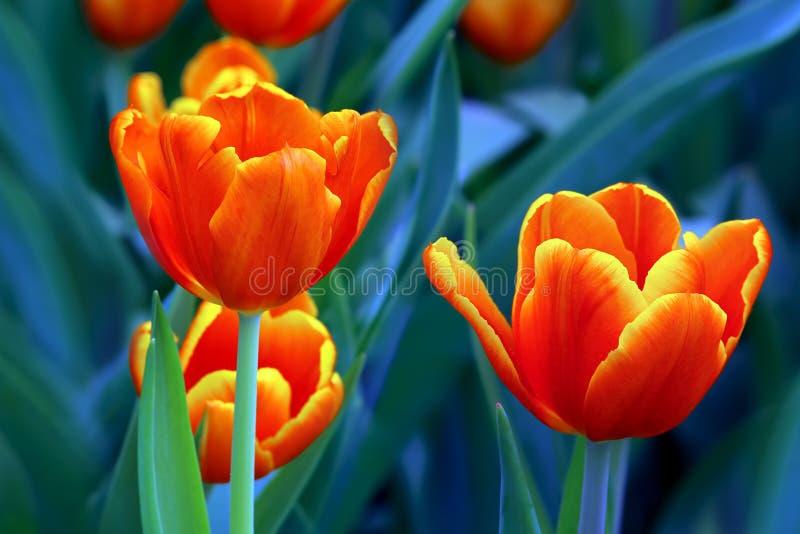 Tulipani arancio forniti di punta giallo elegante fotografie stock libere da diritti