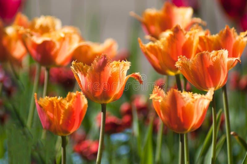 Tulipani arancio un giorno soleggiato fotografia stock