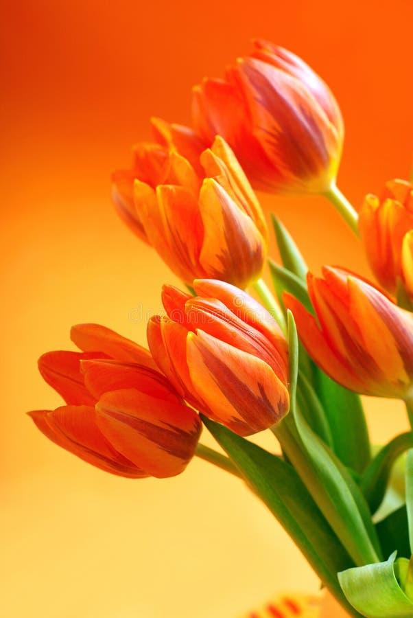 Tulipani arancioni fotografia stock immagine di floreale for Tulipani arancioni