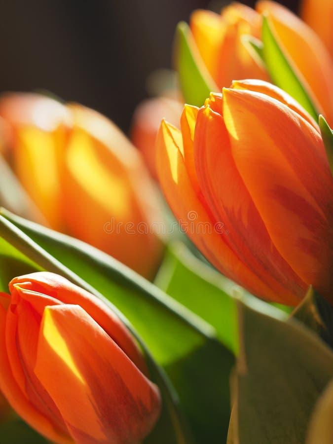 Tulipani arancioni immagini stock libere da diritti