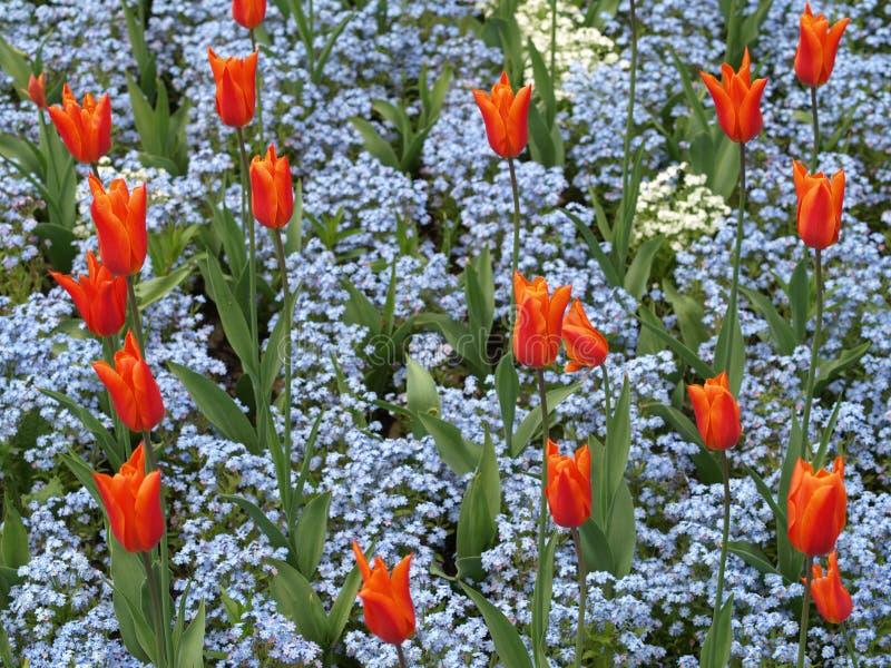 Tulipani arancioni con i fiori blu del nontiscordardime for Tulipani arancioni