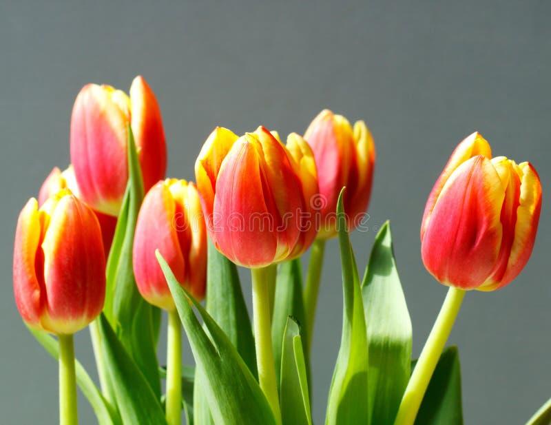 tulipani arancioni e gialli fotografia stock immagine di