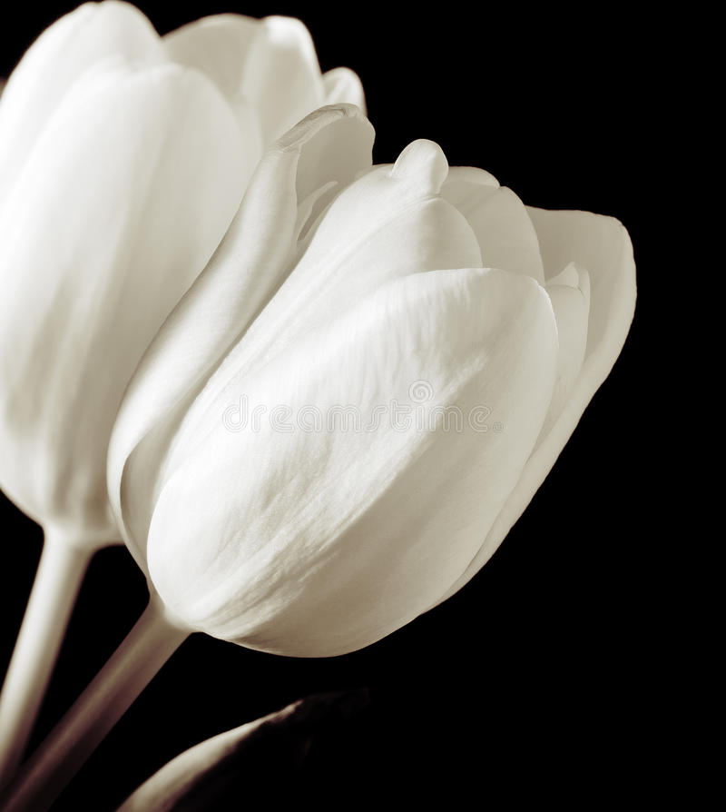 Tulipani bianchi immagine stock libera da diritti