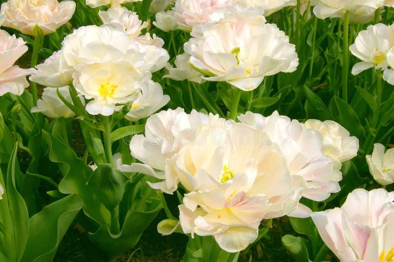 Tulipani bianchi operati fotografia stock libera da diritti