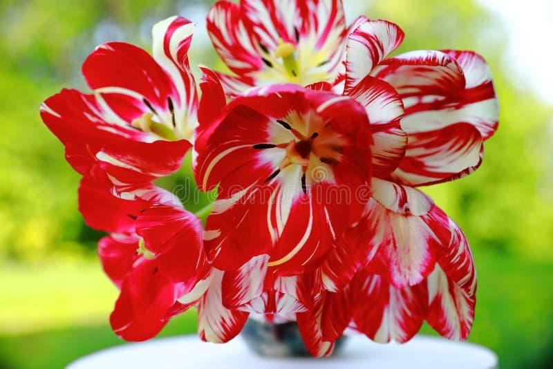 tulipani bianchi Rosso e in un vaso grigio su un supporto di fiore bianco, sfondo naturale verde vago fotografia stock