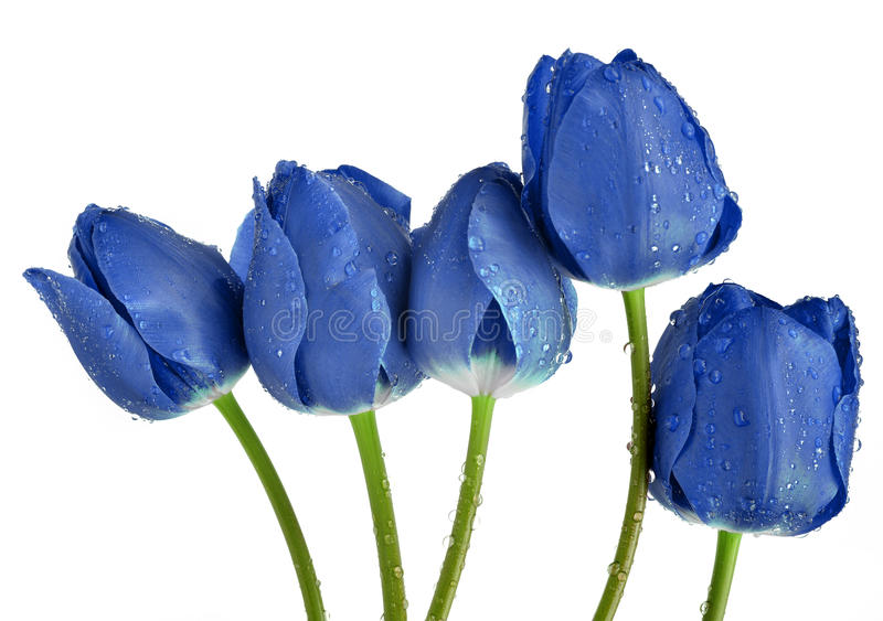 tulipani blu rugiadosi immagine stock immagine di