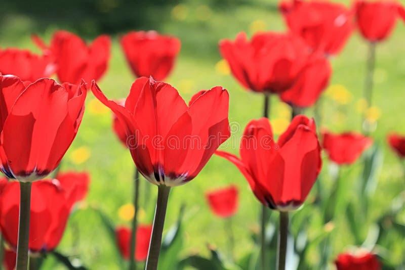 Tulipani che lasciano il sole con se stessi e fioriscono ancora più luminoso un giorno di molla luminoso immagini stock libere da diritti