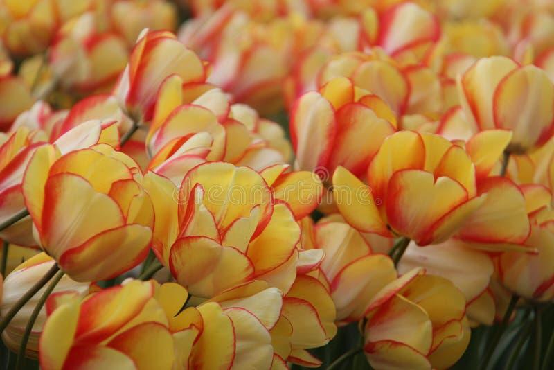 Tulipani che soffiano nella brezza immagini stock