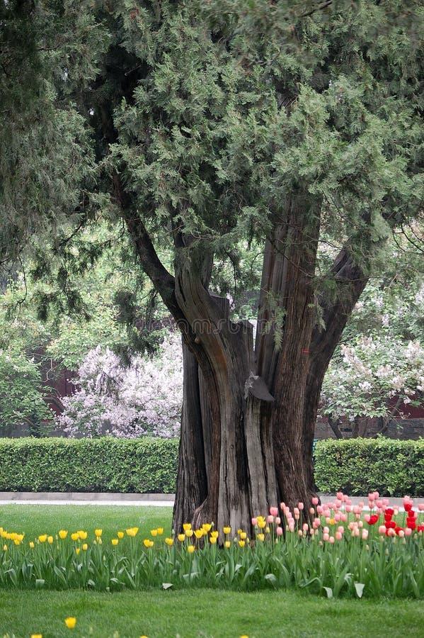 Tulipani, chiodo di garofano e vecchio albero di cipresso fotografia stock libera da diritti