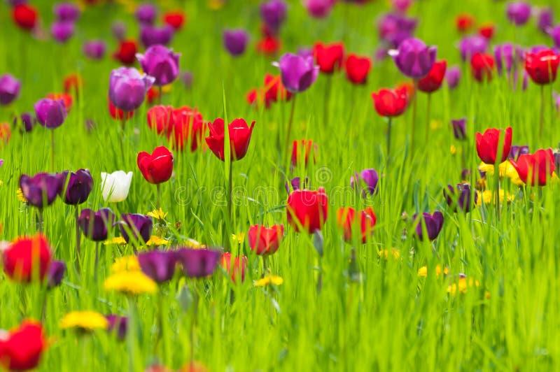 Tulipani colorati differenti su un prato fotografia stock
