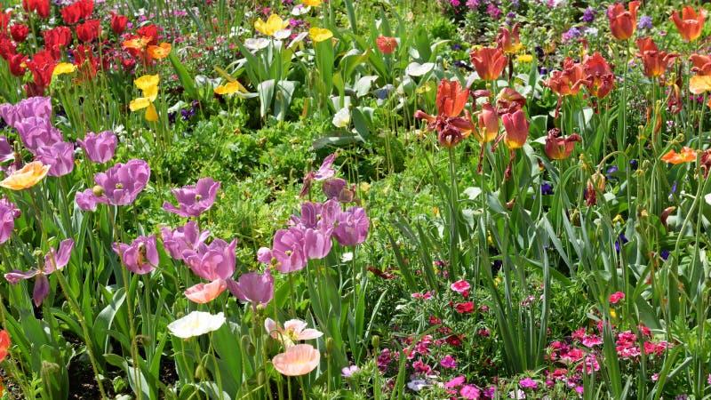 Tulipani Colourful in Hamilton Botanical Gardens New Zealand fotografie stock libere da diritti