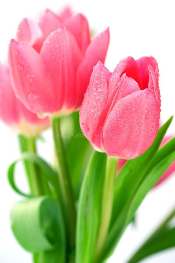 Tulipani con le gocce dell'acqua immagini stock