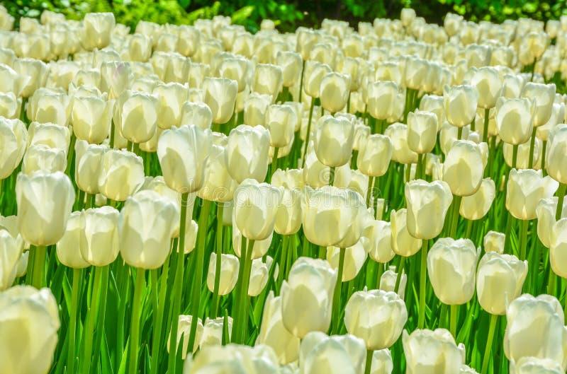 Tulipani crema gialli con Folliage verde immagini stock libere da diritti