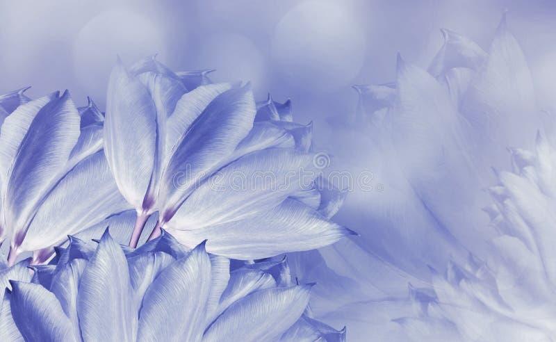 Tulipani dei fiori su fondo bianco-blu Tulipani blu-chiaro dei fiori Priorit? bassa floreale Composizione nel fiore fotografie stock