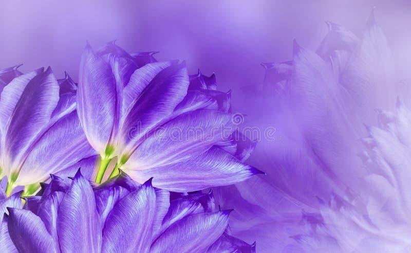Tulipani dei fiori sulla porpora del fondo La porpora fiorisce i tulipani Priorit? bassa floreale Composizione nel fiore immagine stock