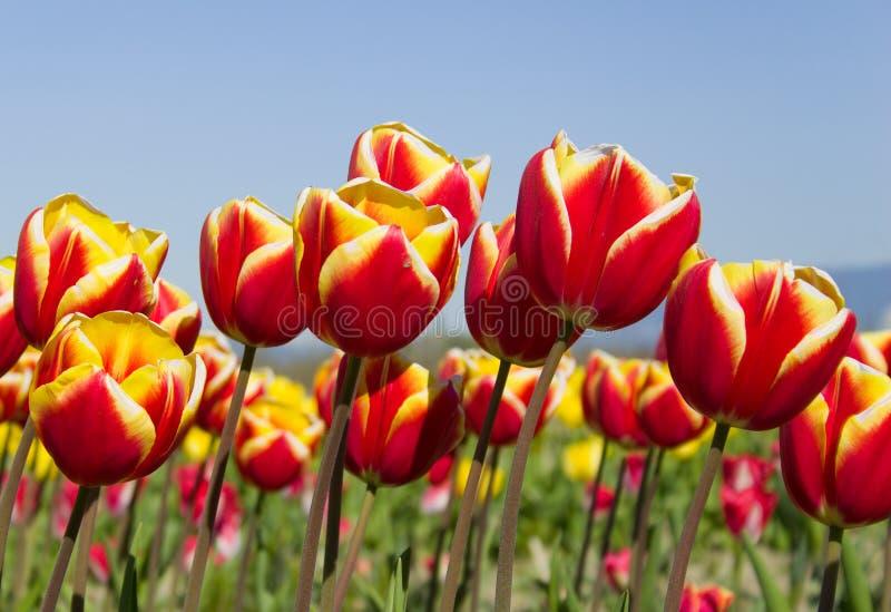 Tulipani del cielo immagine stock