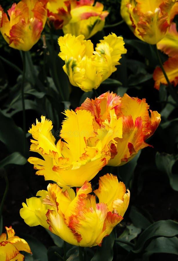 Tulipani del pappagallo di Texas Gold, hybrida del Tulipa x, fiori Uo vicino fotografie stock libere da diritti