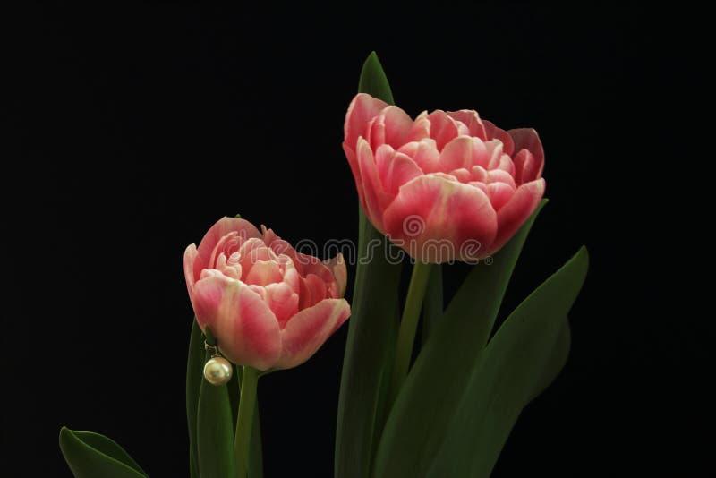 Tulipani delicati eleganti di Terry di rosa con la perla bianca su fondo nero Gioco di indicatore luminoso e di ombra Concetto di fotografie stock libere da diritti