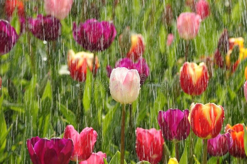 Tulipani della sorgente nella pioggia piena di sole fotografia stock