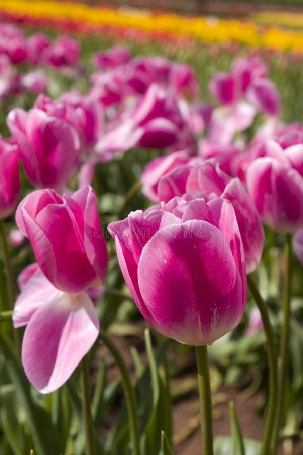 Tulipani dentellare immagini stock