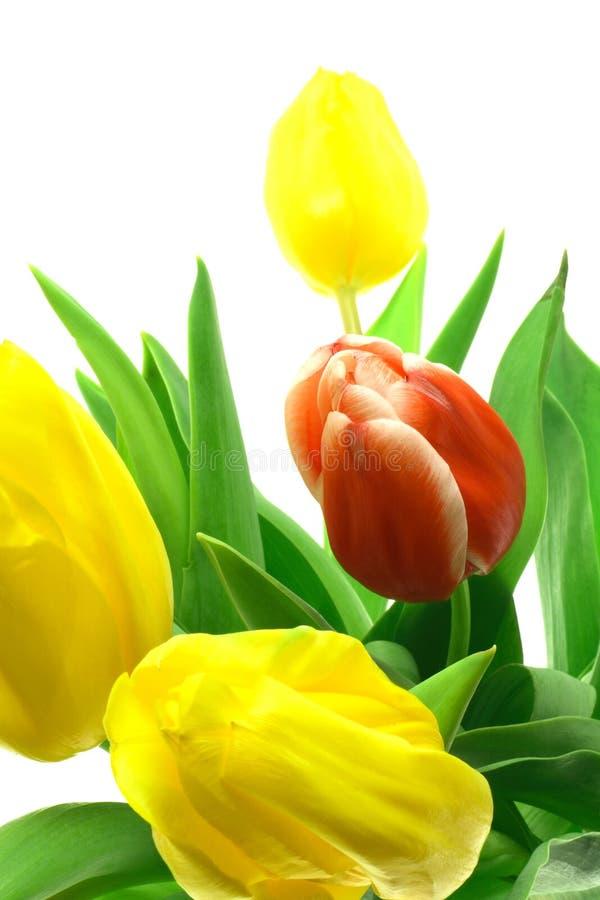 Tulipani Di Beautful Su Un Bianco Immagini Stock