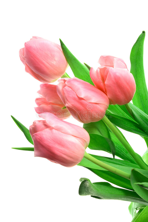 Tulipani di Beautful su un bianco fotografia stock libera da diritti