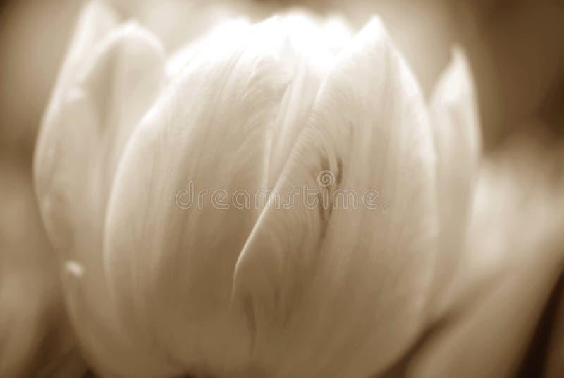 Download Tulipani di seppia fotografia stock. Immagine di fragile - 3889466