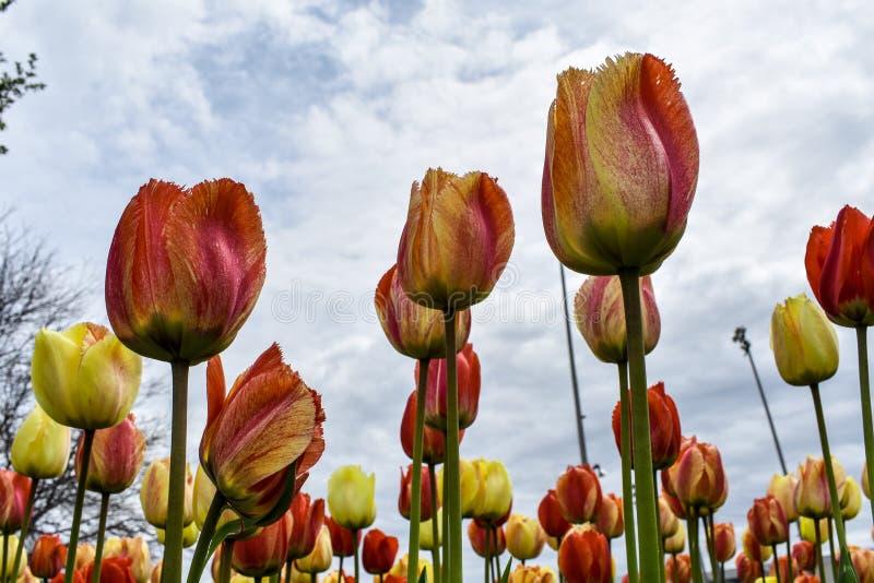 Tulipani di stordimento che raggiungono per il cielo della primavera fotografie stock libere da diritti
