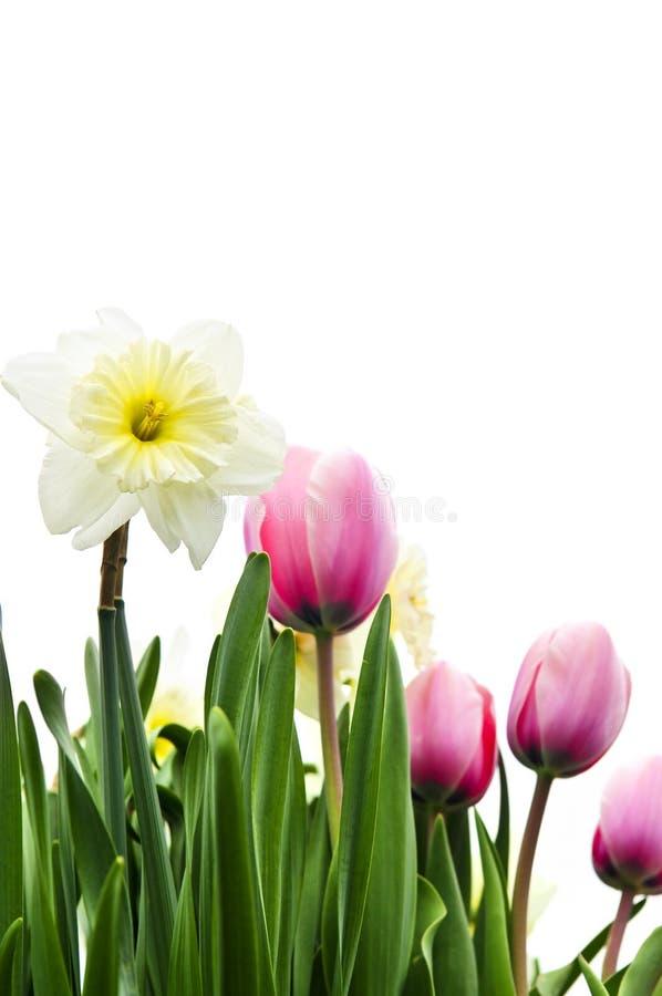 Tulipani e daffodils su priorità bassa bianca immagine stock