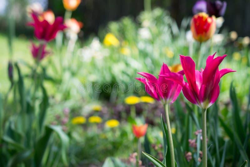 Tulipani e l'altro giardino rurale variopinto dei fiori in primavera come fondo floreale immagini stock