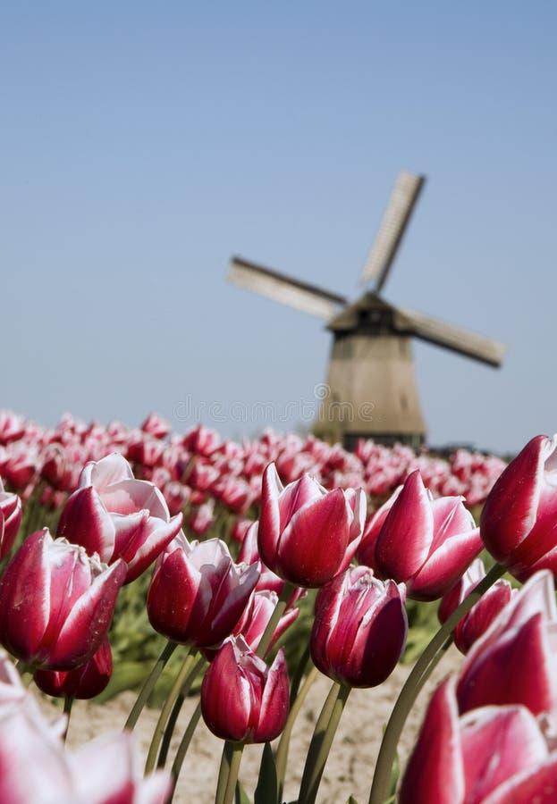 Tulipani e mulino a vento immagini stock