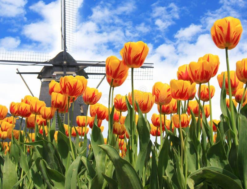 Tulipani e mulino a vento dell'Olanda fotografie stock