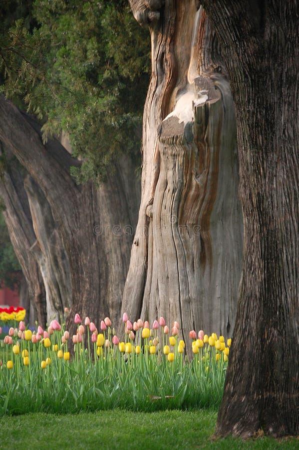Tulipani e vecchi alberi fotografia stock libera da diritti