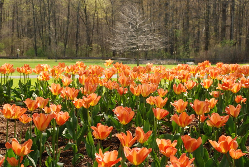 Tulipani ed alberi immagine stock libera da diritti