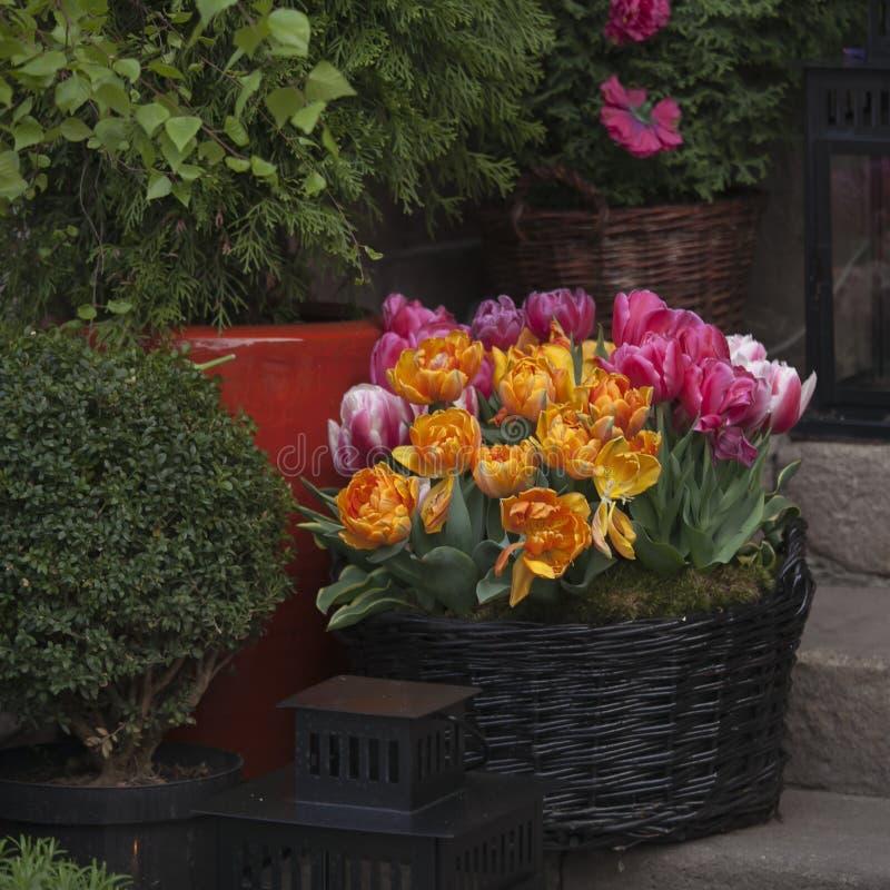 Tulipani freschi all'entrata al ristorante sul quadrato del mercato nella vecchia città a Varsavia immagine stock