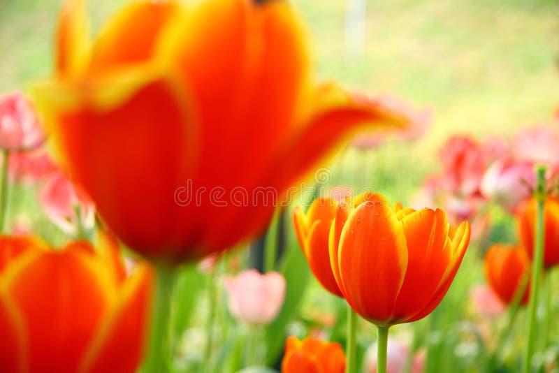 Tulipani gialli arancio luminosi nel giardino fotografia stock