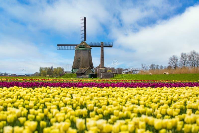 Tulipani gialli e mulini a vento nei Paesi Bassi fotografia stock libera da diritti