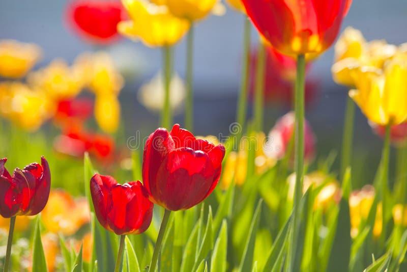 Tulipani gialli e rossi fotografia stock libera da diritti