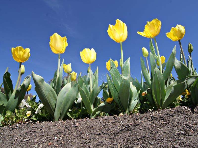 Tulipani gialli - festival di Floriade di Canberra fotografia stock libera da diritti