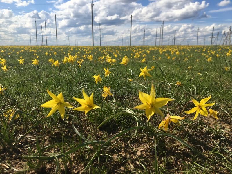 Tulipani gialli nella steppa russa fotografia stock