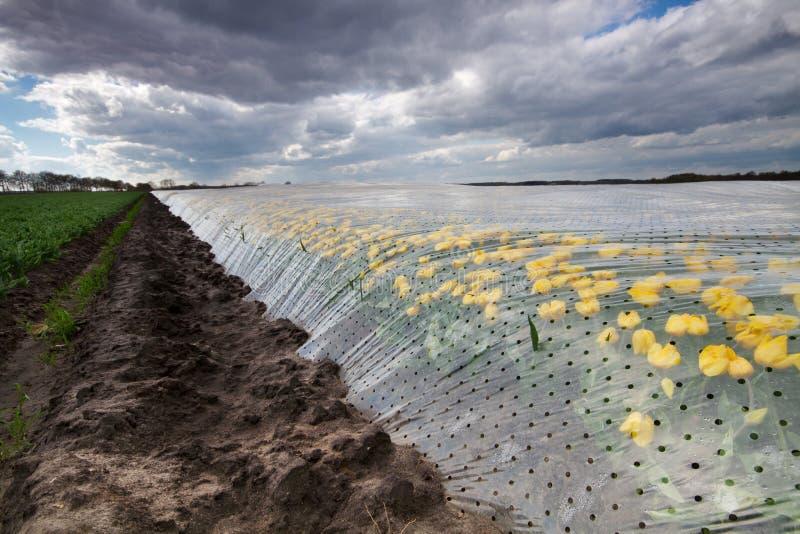 Tulipani gialli sotto stagnola di plastica fotografia stock libera da diritti