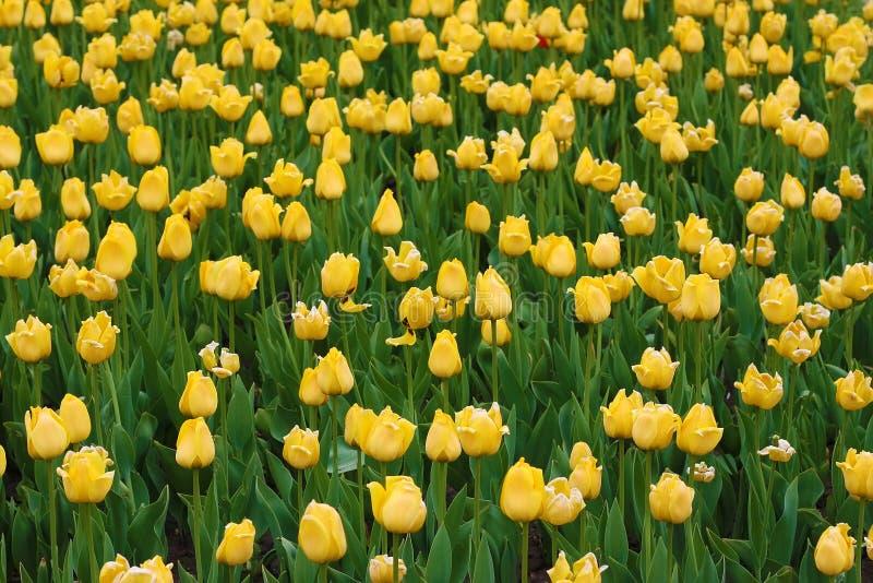 Tulipani gialli sui precedenti verdi immagini stock libere da diritti