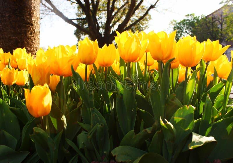 Tulipani gialli in Turchia fotografia stock libera da diritti