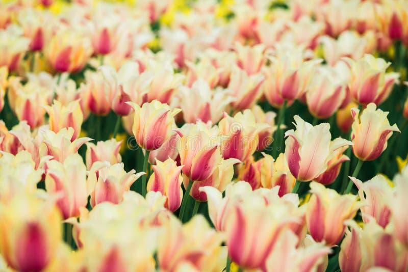 Tulipani giallo-rosa della molla incredibilmente bella nel parco immagine stock libera da diritti