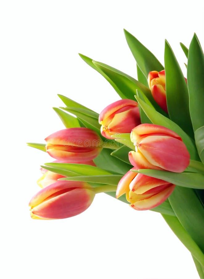 Tulipani isolati fotografia stock libera da diritti