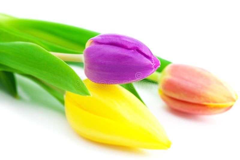 Tulipani isolati su bianco immagini stock